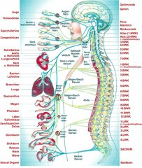 Chiropraxis-Juras Organtafel